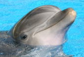 An Atlantic bottlenose dolphin sticks its head out of the water at The Mirage Hotel Casino during a visit by 'American Idol' contestants May 3 2008...