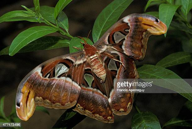 An Atlas moth from South Asia