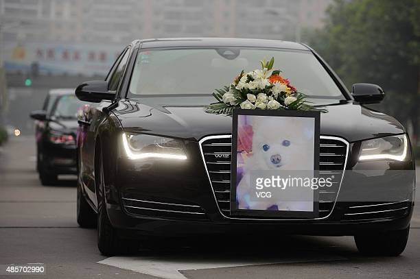 An Audi A8L as a hearse with the portrait of a deceased dog runs on road during it's funeral bought online with 8000 RMB on August 29 2015 in...