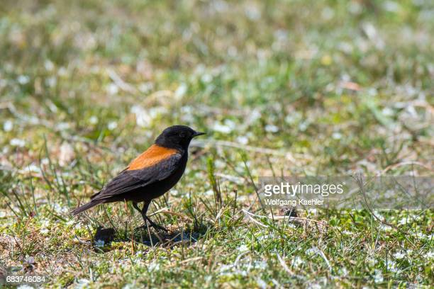 An Austral Negrito or Patagonian Negrito in Torres del Paine National Park in southern Chile