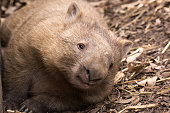 A single wombat rests on the ground during the day when it would normally be less active.