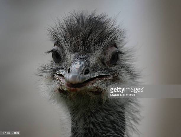An Australian emu in it's enclosure at the Beijing zoo on June 24 2013 The zoo grounds were originally a Ming Dynasty imperial palace and finally...