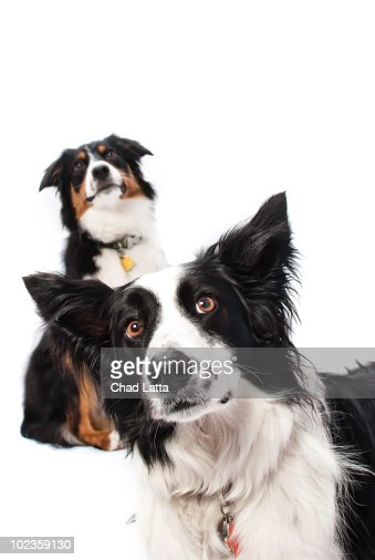 An Australian Shepherd and a Border Collie