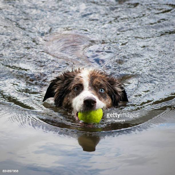 An Australian Shepherd swims towards the camera with a ball in her mouth