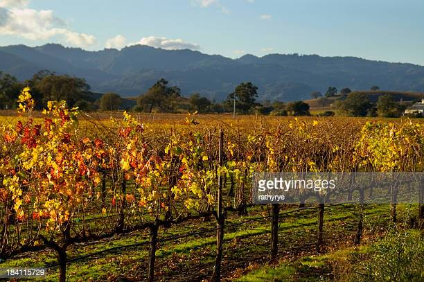An autumn vineyard being grown at Napa Valley, California