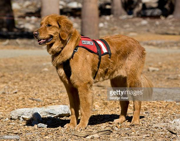 An avalanche golden retriever rescue dog named Madeline greets visitors at the top of Heavenly Ski Resort on August 8 in South Lake Tahoe California...