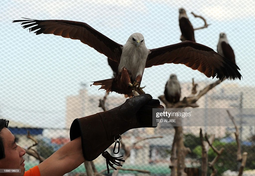 An avian caretaker feeds a group of Brahminy kites (Haliastur indus) locally know as Lawin, inside an enclosure of Ocean park along Manila bay on January 15, 2013, during its launching of birds of prey as part of the park's latest attraction. The Brahminy kite has a pure white head and chest, and feeds on carrion (dead animals), insects, reptiles, amphibians, crustaceans, and fish. It can be found in India, Pakistan, China, Bangladesh and southeast Asia.