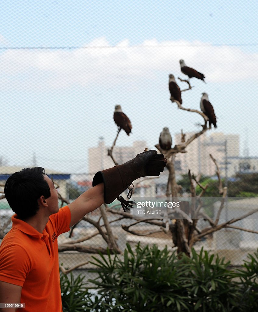 An avian caretaker feeds a group of Brahminy kites (Haliastur indus) locally know as Lawin, inside an enclosure of Ocean park along Manila bay on January 15, 2013, during its launching of birds of prey as part of the park's latest attraction. Brahminy kite has a pure white head and chest, and feeds on carrion (dead animals), insects, reptiles, amphibians, crustaceans, and fish. It can be found in India, Pakistan, China, Bangladesh and southeast Asia.