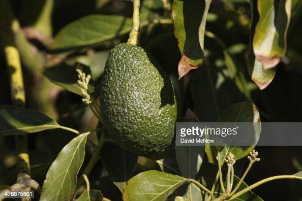 An avocado hangs from a tree at a farm in Pauma Valley on March 5 2014 near Valley Center California The Chipotle restaurant chain 2013 annual report...