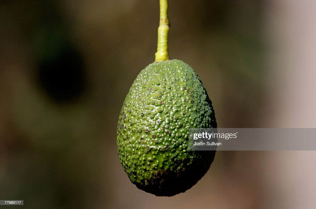 An avocado that was spared fire damge hangs from an avocado tree October 30 2007 in San Pasqual California An estimated 20000 acres of avocado groves...