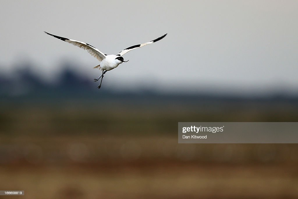 An Avocet flies over Elmley Marshes on April 12, 2013 in Sheerness, England. The RSPB's Elmley Marshes lies on the Isle of Sheppy, and is managed by the Elmley Conservation Trust. The three and a half acre reserve has the highest density of breeding waders in southern England including Avocet and Redshank. The area is also known to be one of the best sites in the UK to view birds of prey which include Peregrine Falcon, Marsh and Hen Harriers, Rough Legged Buzzards and Short Eared Owl.