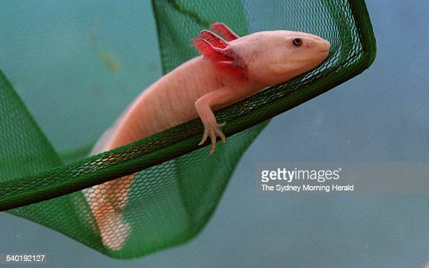 An axolotl often called a Mexican walking fish in a city pet shop Sydney 14 August 1995 SMH Picture by RICK STEVENS