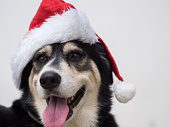 An cute adorable dog wearing Santa hat for being Santa Claus during Christmas holidays. An isolated dog on white background with copy space. This dog looks so happy with her smile.