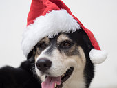 An cute adorable dog wearing Santa hat for being Santa Claus during Christmas holidays. An isolated dog on white background with copy space. This dog looks so happy with her smile