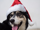 An cute adorable dog wearing Santa hat for being Santa Claus during Christmas holidays. An isolated dog on white background with copy space. This dog looks so curious with her eyes.