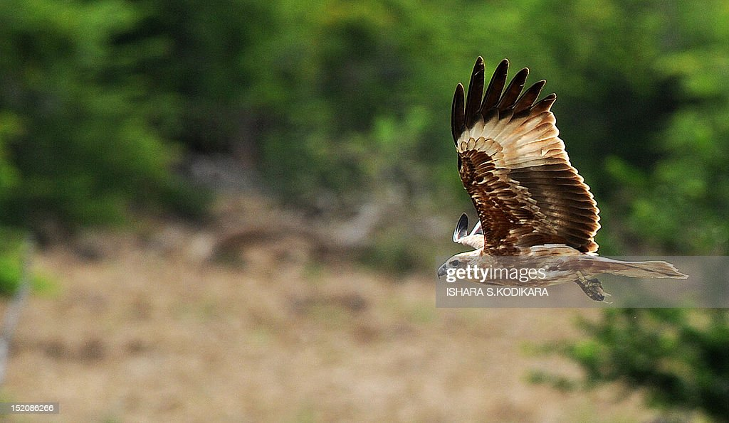An eagle flies at the Yala National Park in the southern district of Yala around 250 kms southwest of Colombo on September 16 2012 Yala National Park...