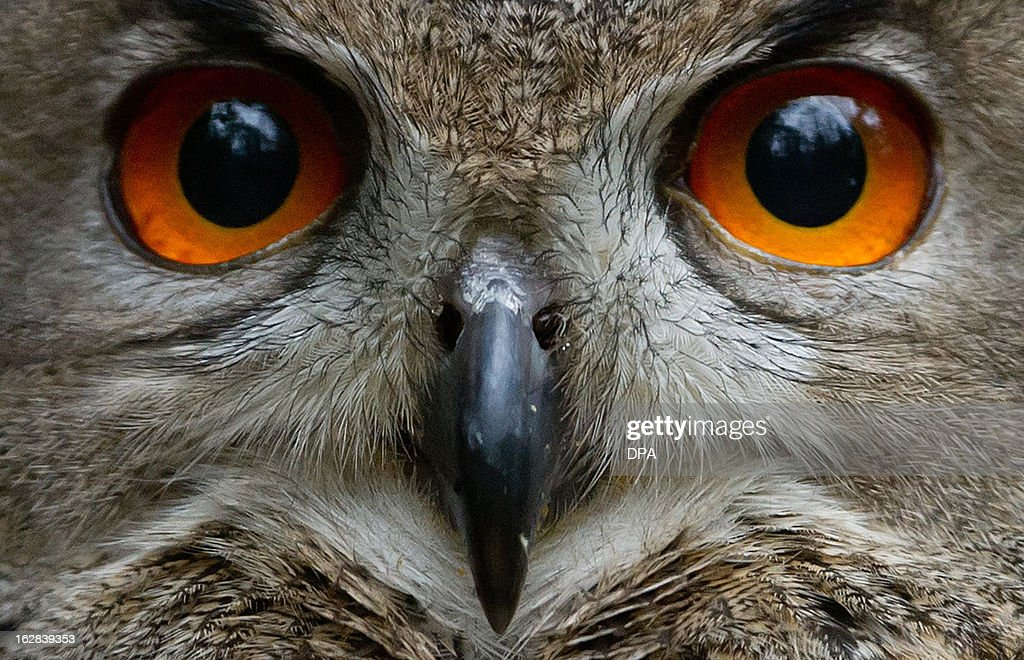 An eagle owl is seen at the Schwarze Berge wildlife park in Hamburg, northern Germany, on February 28, 2013. All animals of the park were counted, measured and weighed during an annual inventory.