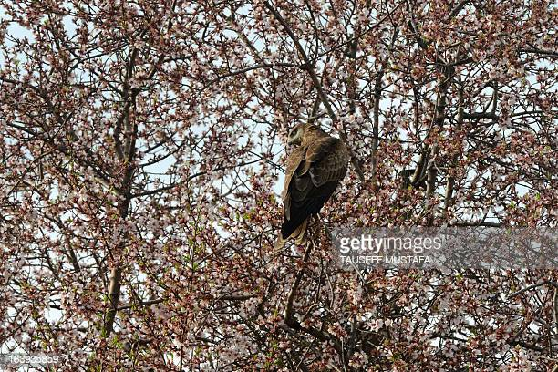 An eagle perches on a blooming almond tree as spring arrives at Badamwari in Srinagar on March 18 2013 Spring has arrived in Indianadministered...