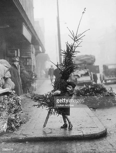 An early arrival at Spitalfields Market London puts a youthful shoulder to the task of carrying a Christmas tree home 14th December 1946