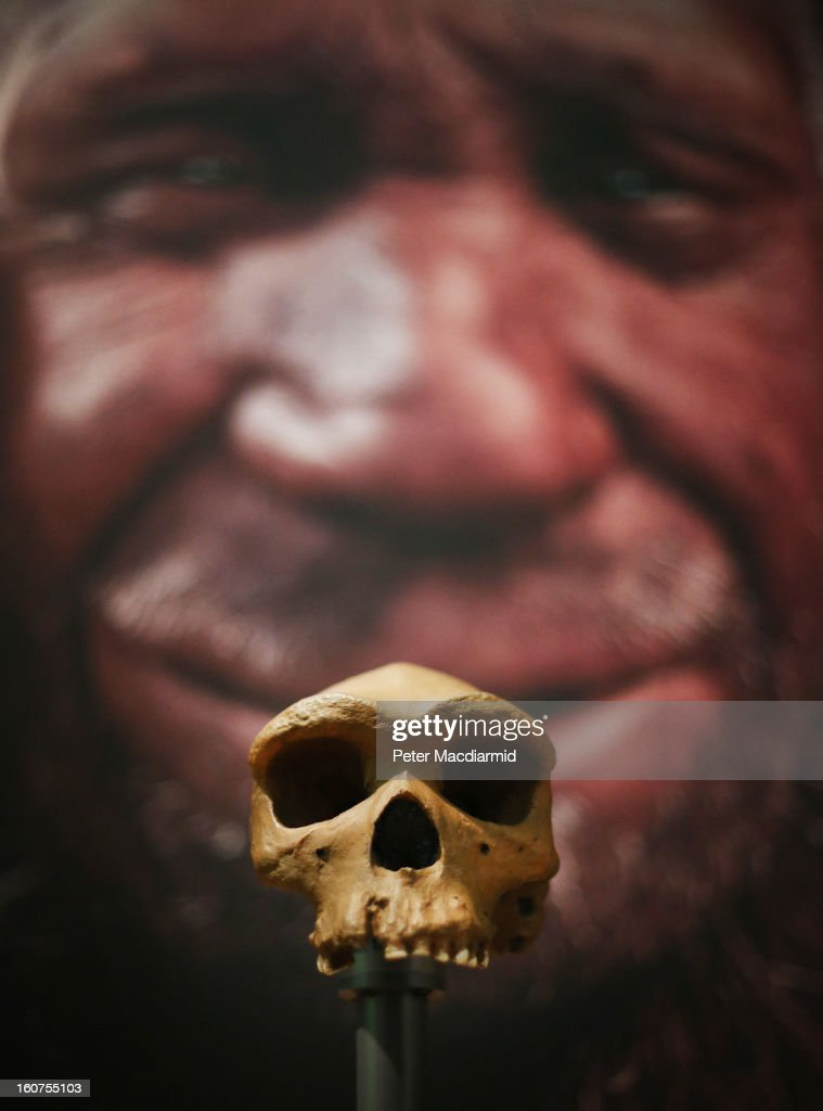 An early human skull is displayed at the 'Extinction: Not the End of the World?' exhibition at The Natural History Museum on February 5, 2013 in London, England. More than 99 percent of species that once roamed the planet are now extinct. Organisers of the exhibition hope to show that a diverse range of plants and animals survived. 80 Museum specimens are on display from February 8-8, September 2013.