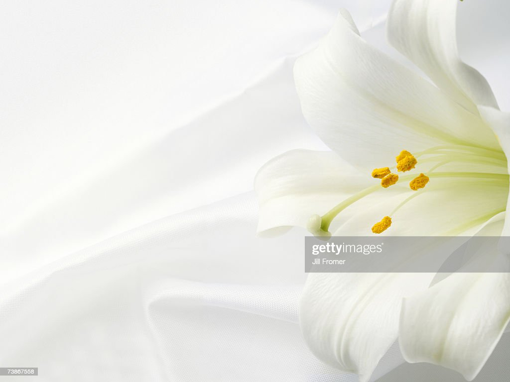 An Easter lily on a white satin background : Stock Photo