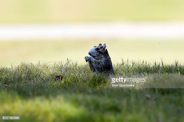 An Eastern Fox Squirrel near the 18th tee The First Round of the 2016 Landfall Tradition NCAA Women's Golf Championship hosted by the University of...
