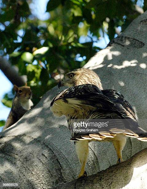 An Eastern Gray Squirrel and a juvenile Red Tailed Hawk face off in the Upper Senate Park on Capitol Hill in Washington DC The end result was a...