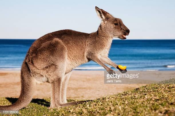 An eastern grey kangaroo eating an orange peel