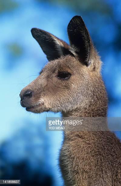 An Eastern Grey Kangaroo ( Macropus giganteus ) widespread in Eastern and Southern Australia