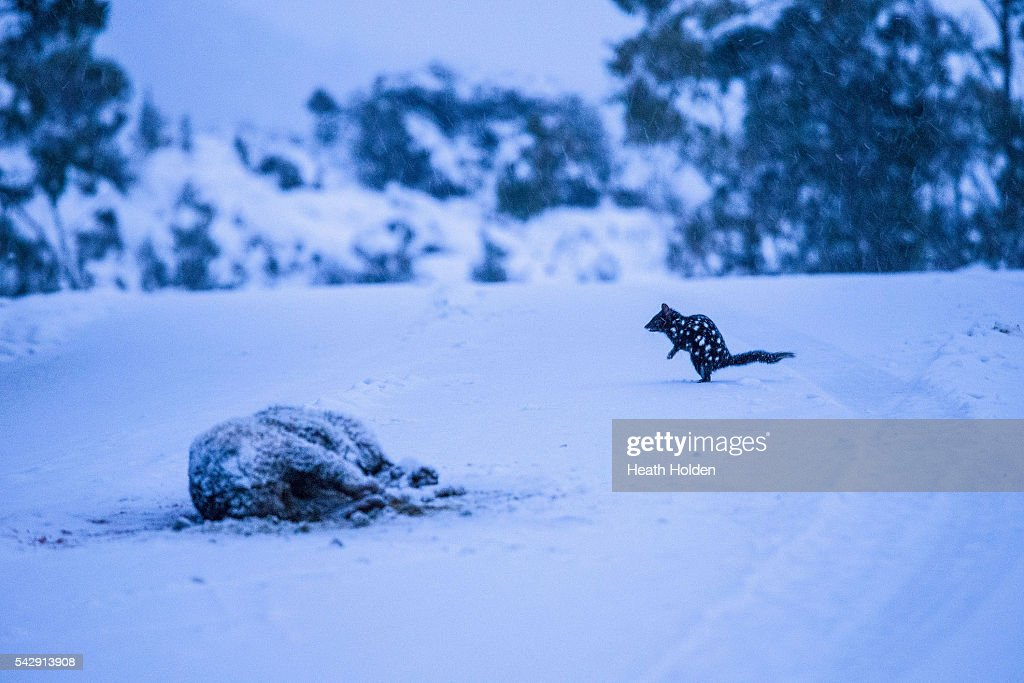 An Eastern Quoll finds an early morning feed on the fresh snow covered road on June 25, 2016 in Cradle Mountain, Australia. Snow has been forecast across Eastern Australia as cold front continues to bring low temperatures, rain and potentially damaging winds.