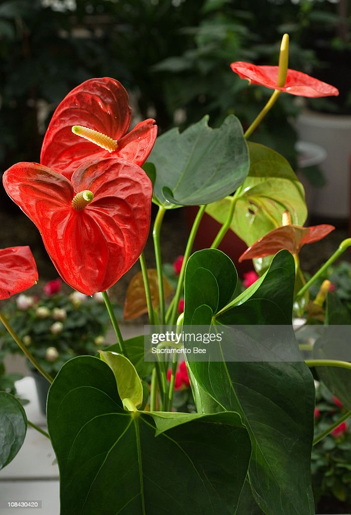 An easy houseplant to grow for nice color is the anthurium.
