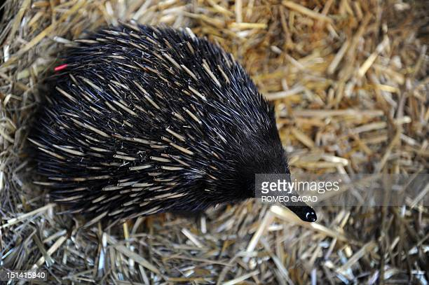 An echidna is displayed by wildlife personnel at Martin Place public square in Sydney's central district as Australia's zoo and aquarium association...