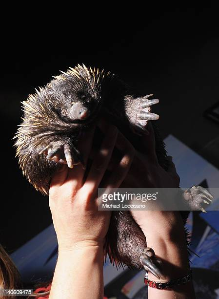 An Echidna is held at SeaWorld and Busch Gardens booth during the New York Times 2012 Travel show at The Jacob K Javits Convention Center on March 2...