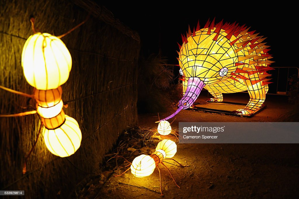 An echidna light sculpture eating ants is displayed during a media preview of Vivid Sydney illuminated displays at Taronga Zoo on May 24, 2016 in Sydney, Australia. Vivid is lighting up at Taronga Zoo for the first time with ten giant animal sculptures representing critical species the zoo is committed to protecting. Held annually, Vivid Sydney is the world's largest festival of light, music and ideas running for 23 days.