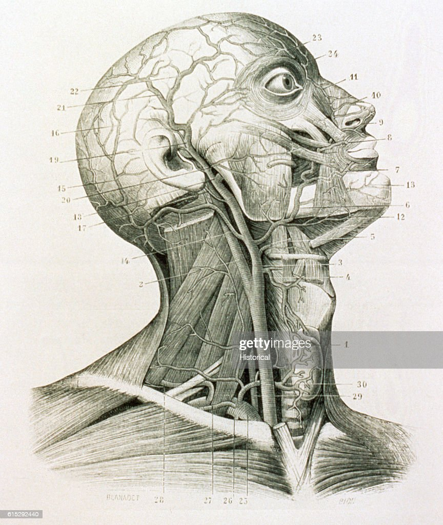 an ecorche medical diagram shows the muscles and arteries of the picture id615292440?s=594x594 muscles and arteries of the neck and head pictures getty images medical diagram at panicattacktreatment.co