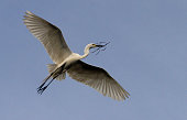 An Egret bird holds twigs and flies towards a tree to make nest at a way side tree branches for their annual nesting on the beginning of the monsoon...
