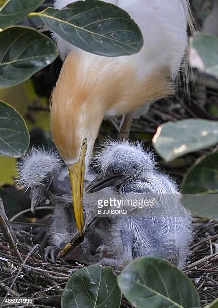 An egret feeds her chicks on the banks of the Brahmaputra River in the Panbazar area of Guwahati on May 9 2014 Scores of egrets build their nests...