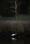 An egret hunts for food at Janes Island State Park on Monday July 18 2016 in Crisfield MD Much of the park is only assessable by boat