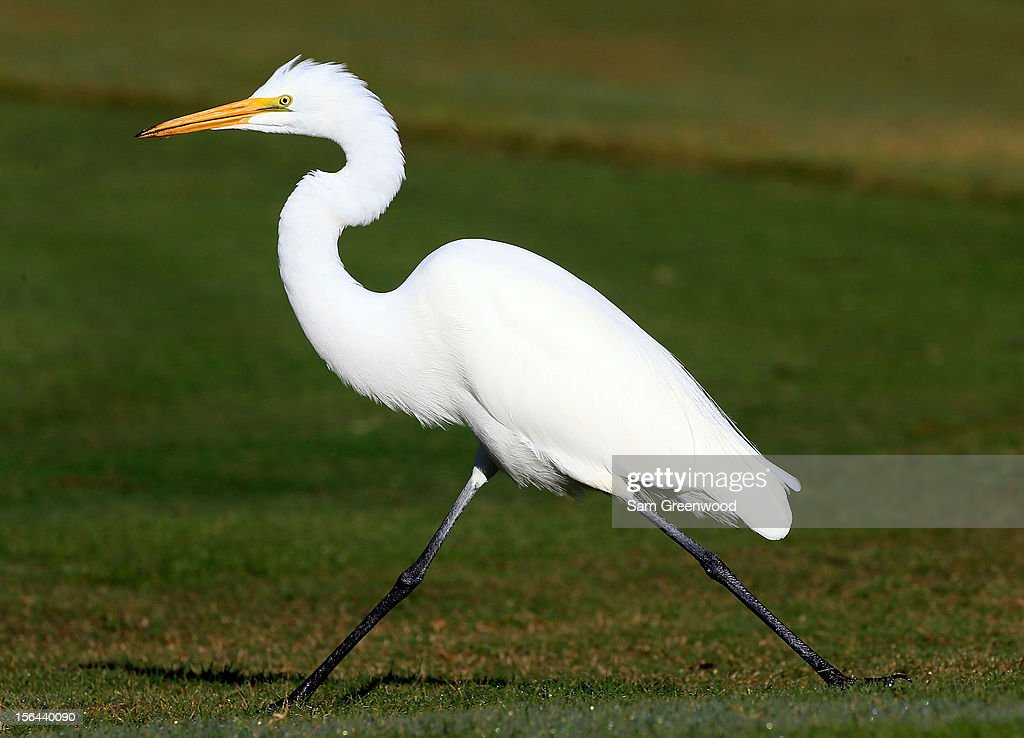 An egret is seen during the second round of the Children's Miracle Network Hospitals Classic at the Disney Palm and Magnolia course on November 9, 2012 in Lake Buena Vista, Florida.