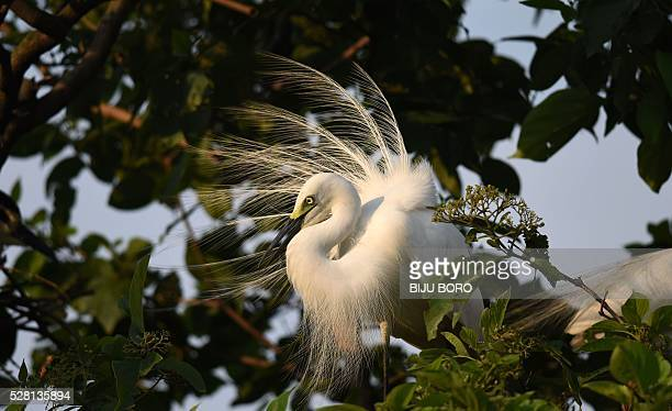 An egret perches on the branch of a tree on the banks of the Brahmaputra River in the Panbazar area of Guwahati on May 4 2016 Each year at a similar...