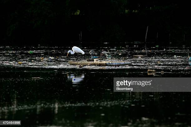 An egret stands on a piece of garbage floating in Guanabara Bay in Rio de Janeiro Brazil on Friday April 17 2015 Guanabara Bay was once rich in...