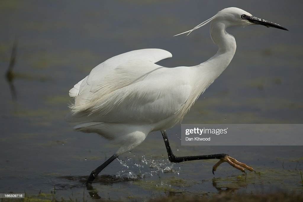 An Egret wades through water at Elmley Marshes on April 7, 2013 in Sheerness, England. Many migrant species from continental Europe and North Africa will likely be arriving on UK shores as the prolonged cold climate that has gripped much of Britain recently makes way for milder and more seasonable weather. The RSPB's Elmley Marshes lies on the Isle of Sheppy, and is managed by the Elmley Conservation Trust. The three and a half acre reserve has the highest density of breeding waders in southern England including Avocet and Redshank. The area is also known to be one of the best sites in the UK to view birds of prey which include Peregrine Falcon, Marsh and Hen Harriers, Rough Legged Buzzards and Short Eared Owl.