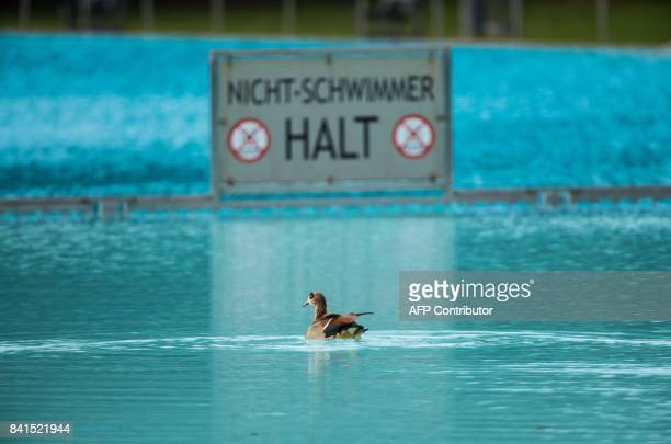 An Egyptian goose swims past a sign reading 'NonSwimmers Stop' in an open air public swimming pool at the Brentanobad in Frankfurt am Main western...