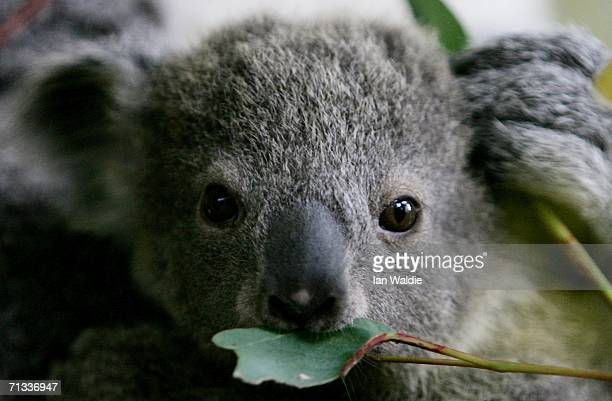 An eight month old koala joey eats a eucalyptus leaf at Taronga Zoo June 30 2006 in Sydney Australia The asyetunnamed baby measuring approximately 20...