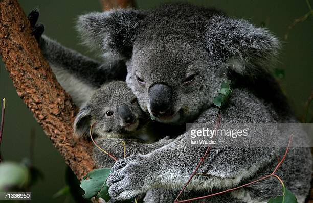 An eight month old koala joey peers out from behind his mother Adori at Taronga Zoo June 30 2006 in Sydney Australia The asyetunnamed baby measuring...