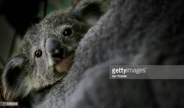 An eight month old koala joey peers out from behind his mother Adori at Taronga Zoo June 30 2006 in Sydney Australia The asyet unnamed baby measuring...