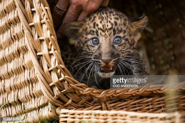 An eight week old leopard cub looks out from its basket as it is unveiled to media and public at the Tierpark zoo in Berlin on August 22 2014 The...