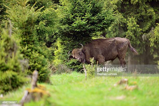 An eight year old european bison bull 'Egna' rubs his winter fur on a fir tree in the Rothaargebirge mountain on May 5 2014 near Bad Berleburg...