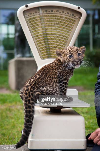 An eightweek old leopard cub weighs in at 2800 grams as it is unveiled to media and public at the Tierpark zoo in Berlin on August 22 2014 The...