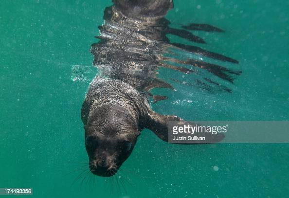 An eightweek old sea lion pup named Jax swims in a pool at Six Flags Discovery Kingdom on July 26 2013 in Vallejo California Two 8week old female...